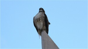 Hawk perched on Sundial House at BackCountry