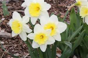 While not necessarily native to Colorado, daffodils are extremely drought tolerant. You'll find them throughout the common areas of BackCountry this spring.