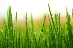 Green wet grass with dew on a blades
