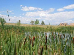Cattails offer nature's ultimate aquatic filtering system. Found beside BackCountry's many ponds, they effectively filter stormwater runoff and herbicides, while providing a cozy habitat for wildlife.