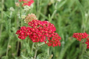 Native to Colorado, red and yellow yarrow are water-wise and attract butterflies, too.