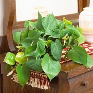 poisonous house plant
